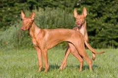 狗猎犬突出二的草甸法老王 库存照片