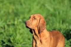 狗猎犬redbone 库存照片