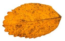狗玫瑰色植物秋天黄色叶子被隔绝的 免版税库存照片