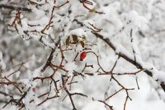 冻狗玫瑰 图库摄影