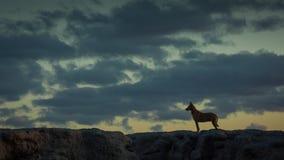 狗现出轮廓反对日落天空在海滩 库存图片