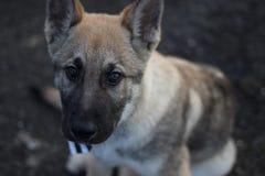 狗男爵的画象照片 免版税图库摄影