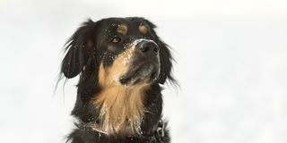狗画象在白色冬天背景中 bernese狗山 图库摄影