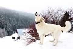 狗白色 库存图片