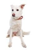 狗白色 免版税库存图片