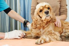 狗的兽医验血考试 库存照片