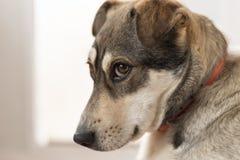 狗的哀伤的神色 库存图片