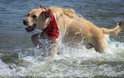 狗的在湖的作用时间 免版税库存图片