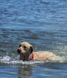 狗的在湖的作用时间 免版税图库摄影