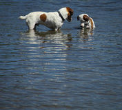 狗的在湖的作用时间 库存图片