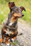 狗的情感视域 免版税库存照片