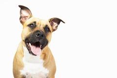 狗的演播室画象,隔绝在白色背景 库存照片