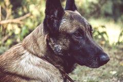 狗的画象在围场,塞尔维亚 免版税库存照片