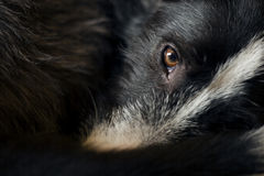 狗的眼睛 免版税库存照片