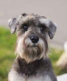 狗的纵向 免版税库存照片
