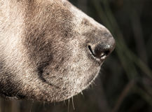 狗的鼻子 宏指令 免版税库存图片