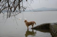 狗看在海的两只鸭子游泳 库存照片