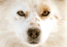 狗眼睛 免版税库存图片