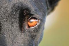 狗眼睛 库存照片