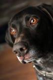 狗眼睛 免版税图库摄影