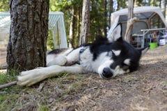狗睡眠阿拉斯加的爱斯基摩狗 库存图片
