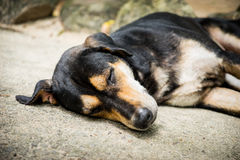 狗睡眠,直到它睡觉 免版税库存图片