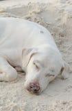 狗睡眠 图库摄影