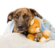 狗睡着在一个被充塞的玩具的胳膊 查出在白色 免版税图库摄影
