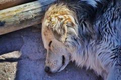 狗睡觉 库存图片
