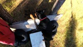 狗短毛猎犬跳在训练场,顶视图的一个障碍 股票录像