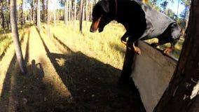 狗短毛猎犬通过障碍跳,在训练场 影视素材