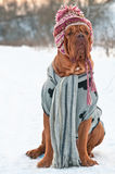 狗穿戴了帽子围巾坐的雪毛线衣 库存照片