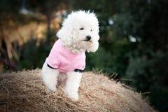 狗穿戴的桃红色甜点 免版税库存照片