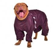 狗穿戴的雨衣微笑的打呵欠 免版税库存照片