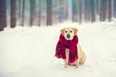 狗穿被编织的红色围巾的拉布拉多猎犬 免版税库存照片