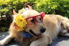 狗穿戴玻璃和花 免版税库存图片