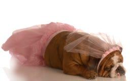 狗穿戴的芭蕾舞短裙 免版税图库摄影