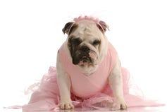 狗穿戴的芭蕾舞短裙 库存图片