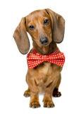 狗穿戴的蝶形领结,画象Dackel,弓领带动物衣裳 库存照片