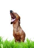 狗笑 免版税库存图片