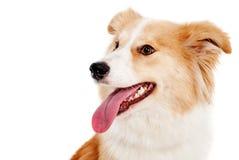 狗红色白色 免版税库存照片