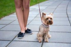 狗约克夏狗和女性腿 免版税库存图片