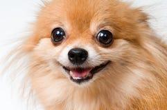 狗纵向波美丝毛狗 库存照片
