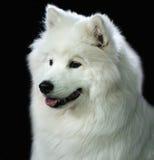 狗纵向波美丝毛狗 图库摄影