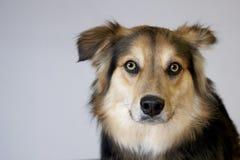 狗纵向 免版税图库摄影