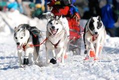 狗线索雪撬 库存图片