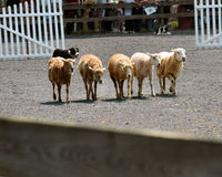 狗绵羊试算 库存图片