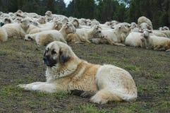 狗绵羊 免版税库存照片