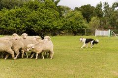 狗绵羊 库存图片