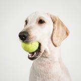 狗网球 库存图片